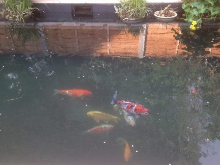 Essex aquatics pond maintenance in essex london and for Fish pond repair